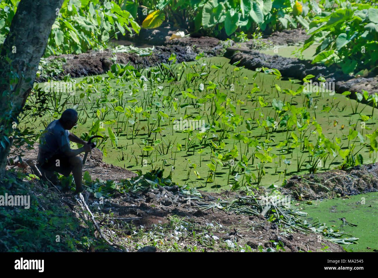 Taro Patch Stock Photos Images Alamy Navy A Older Hawaiian Gentleman Working On His The Island Of Molokai Hawaii