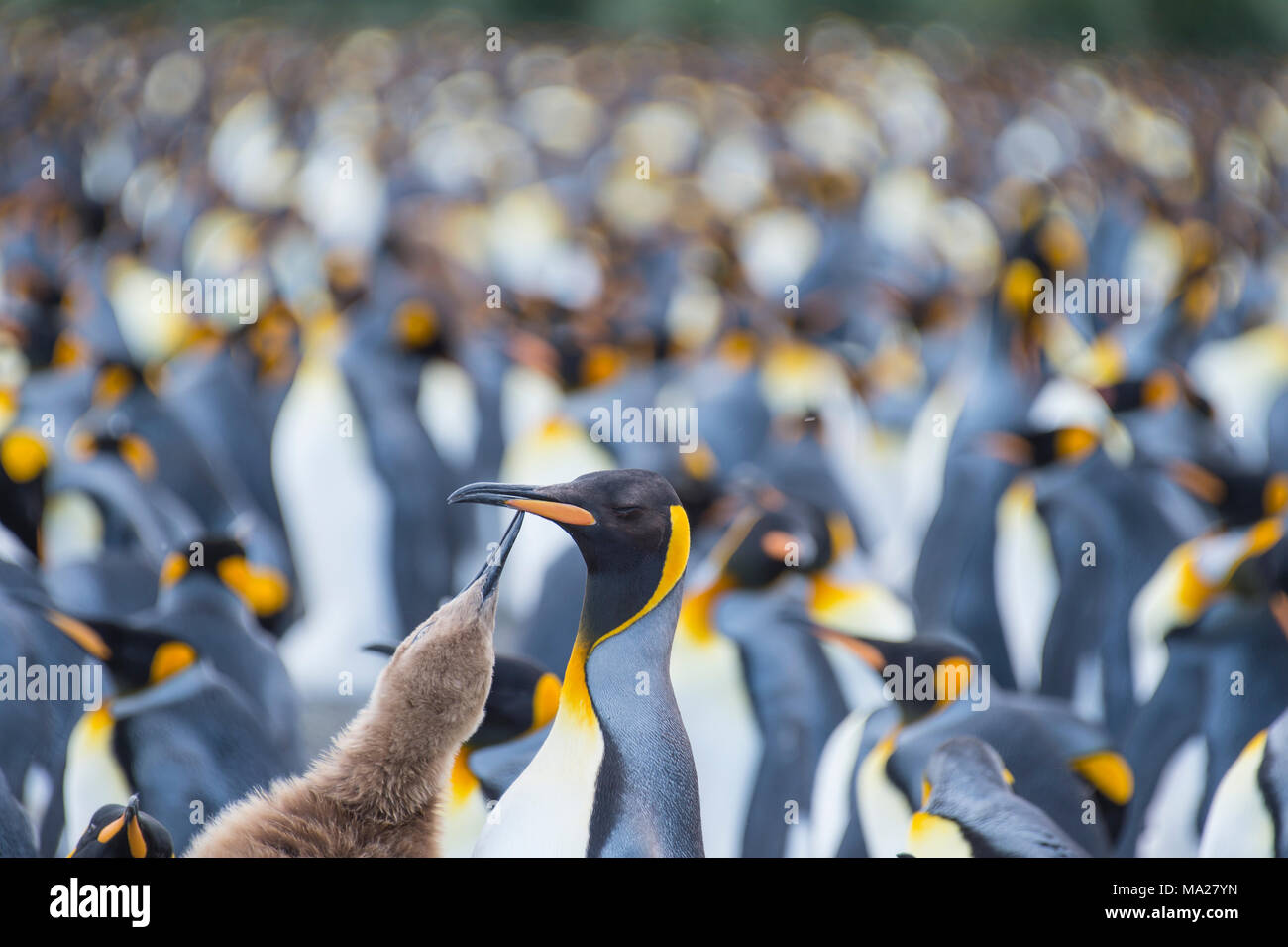 King Penguins colony Gold Harbour at South Georgia - Stock Image