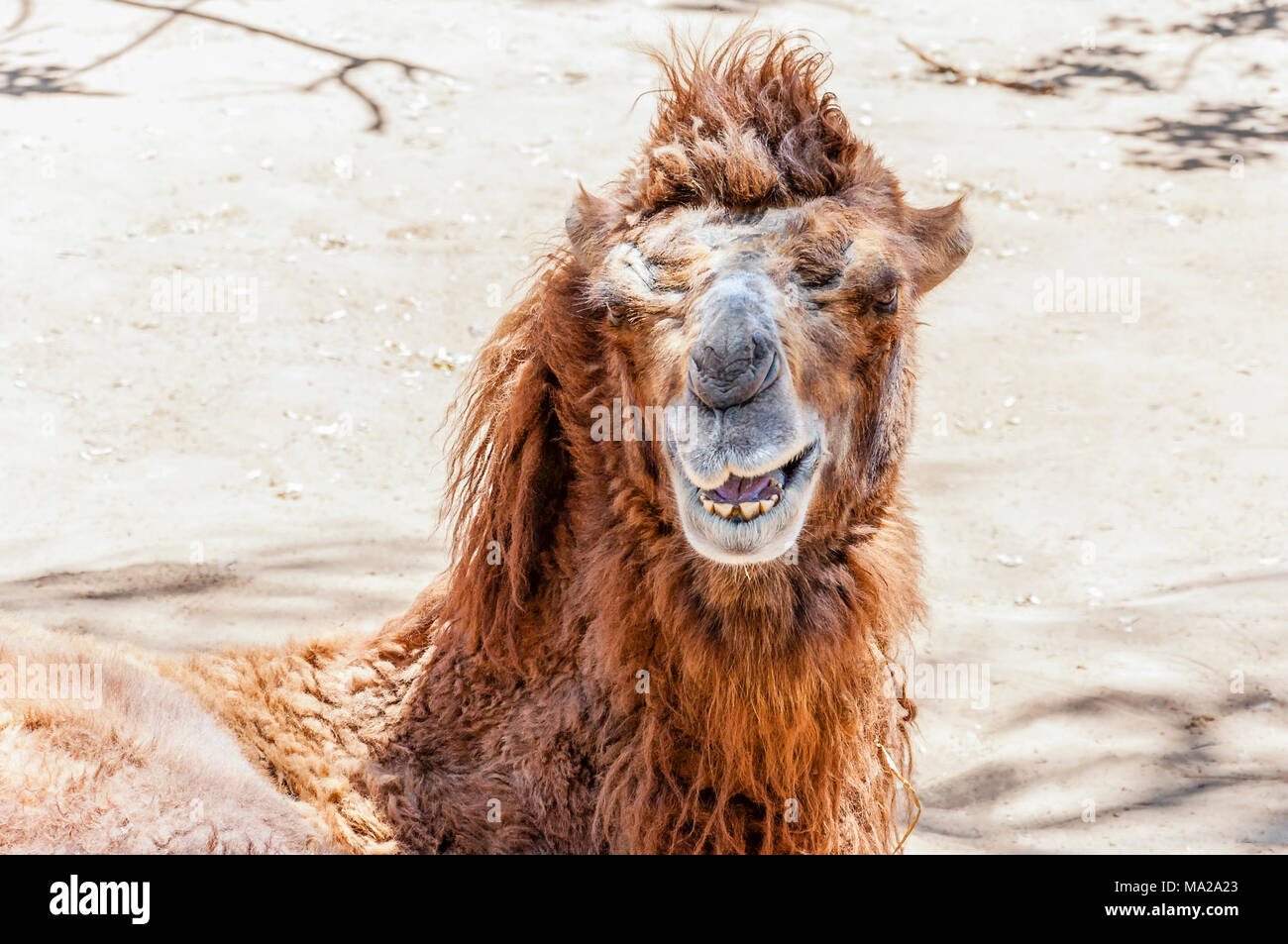 The Bactrian camel (Camelus bactrianus) is a large, even-toed ungulate native to the steppes of Central Asia. - Stock Image