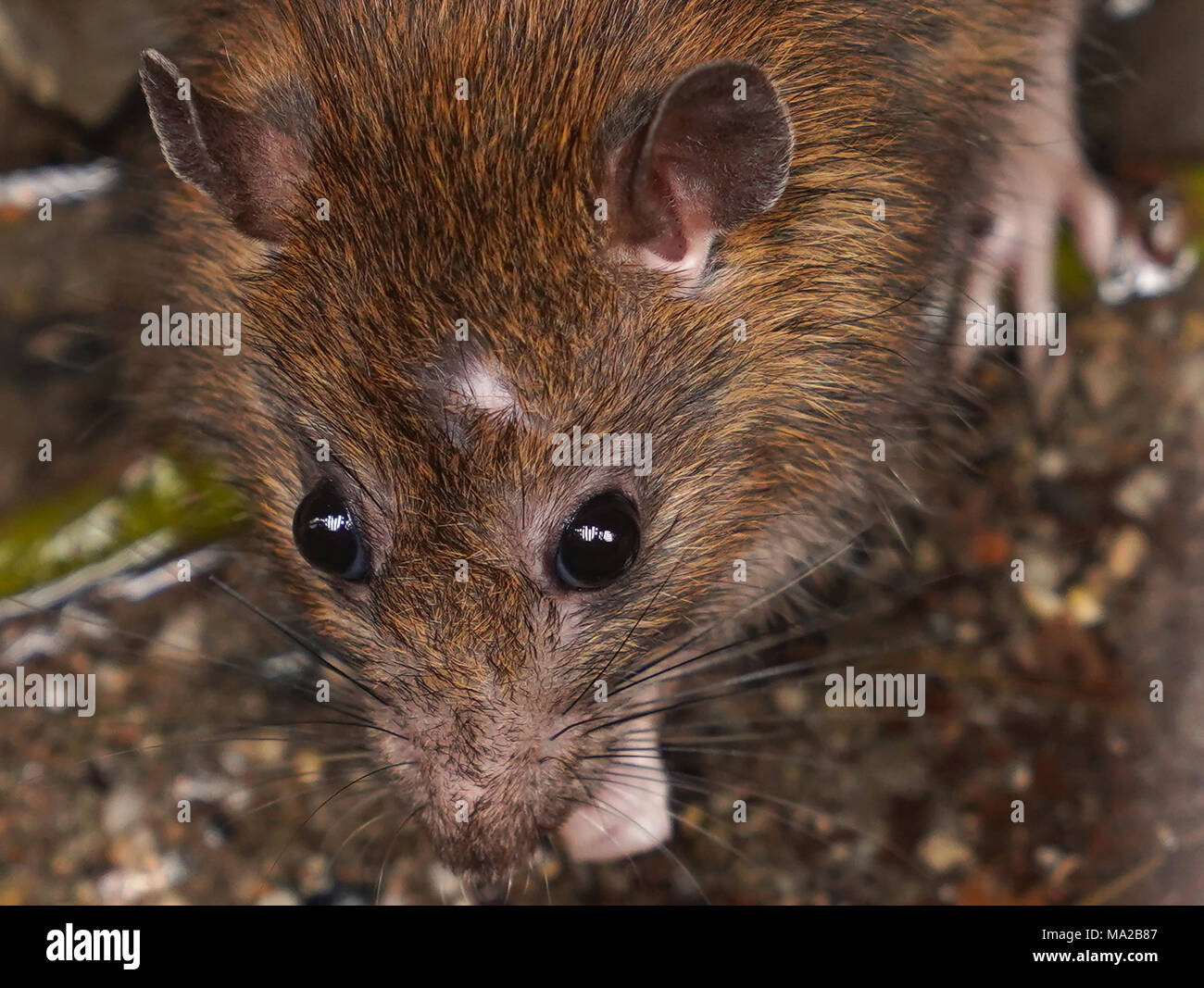 Closeup of rat on a sewer could bee seen from drain grate - Stock Image