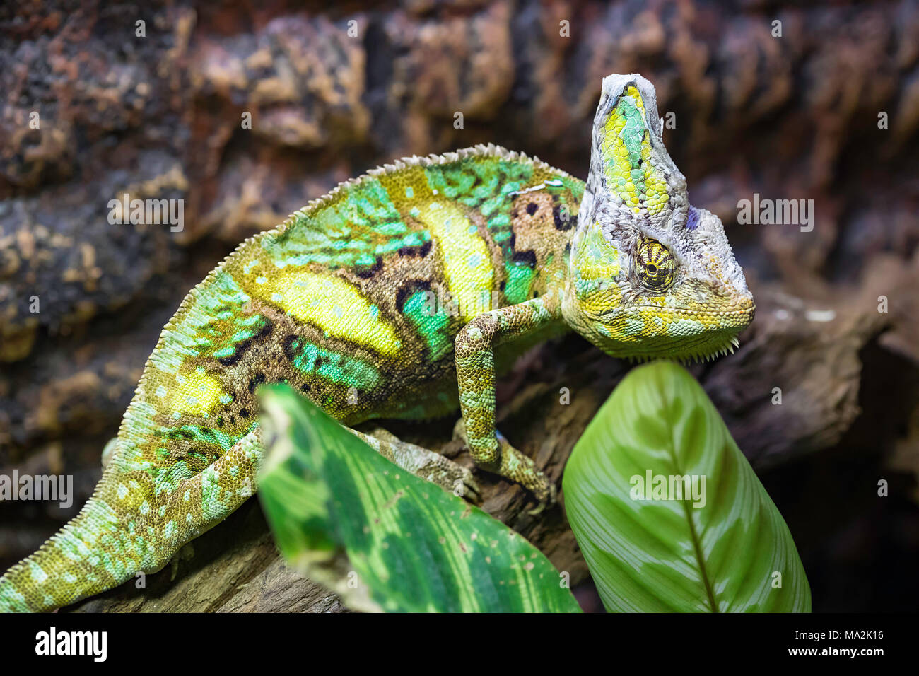 The veiled chameleon, Chamaeleo calyptratus, is a large species of chameleon found in the mountain regions of Yemen, United Arab Emirates and Saudi Ar - Stock Image