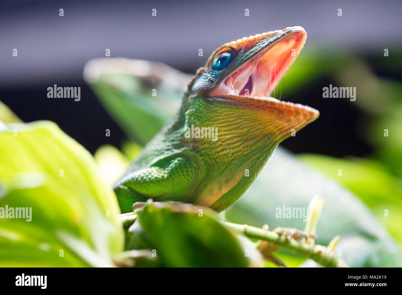 The Knight anole, Anolis equestris, is a species of lizard in the Polychrotidae family, and the largest species of anole. Other common names include C - Stock Image
