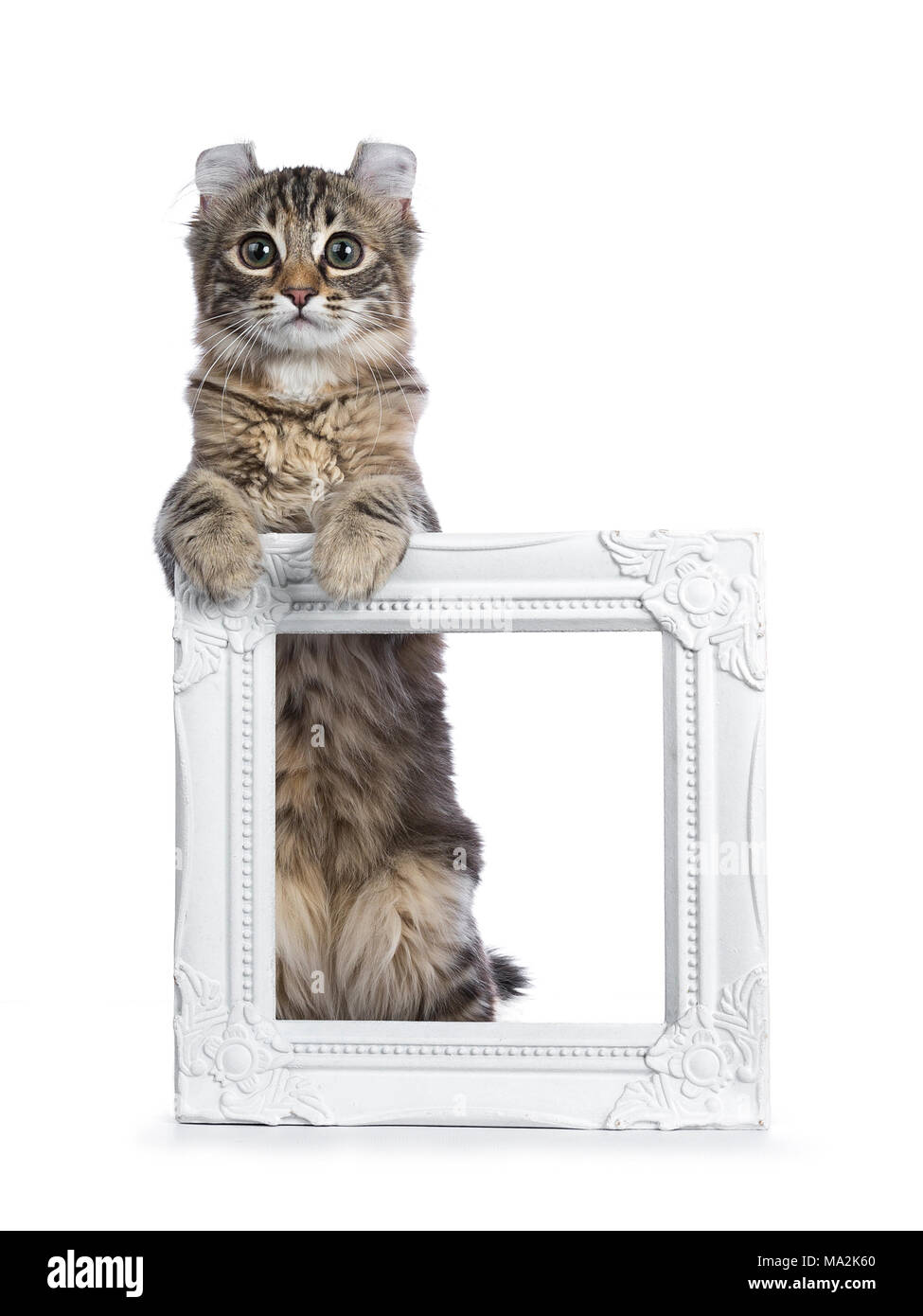 Black tortie tabby American Curl cat / kitten standing with front paws on white photo frame looking straight in lens isolated on white background - Stock Image