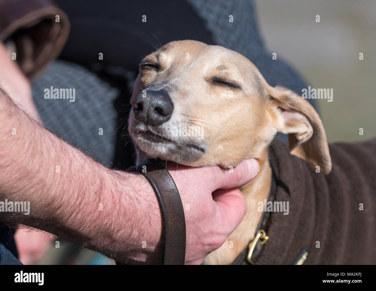 Whippet dog being petted by the owner scratching its head. Petting a dog. Love concept. - Stock Image