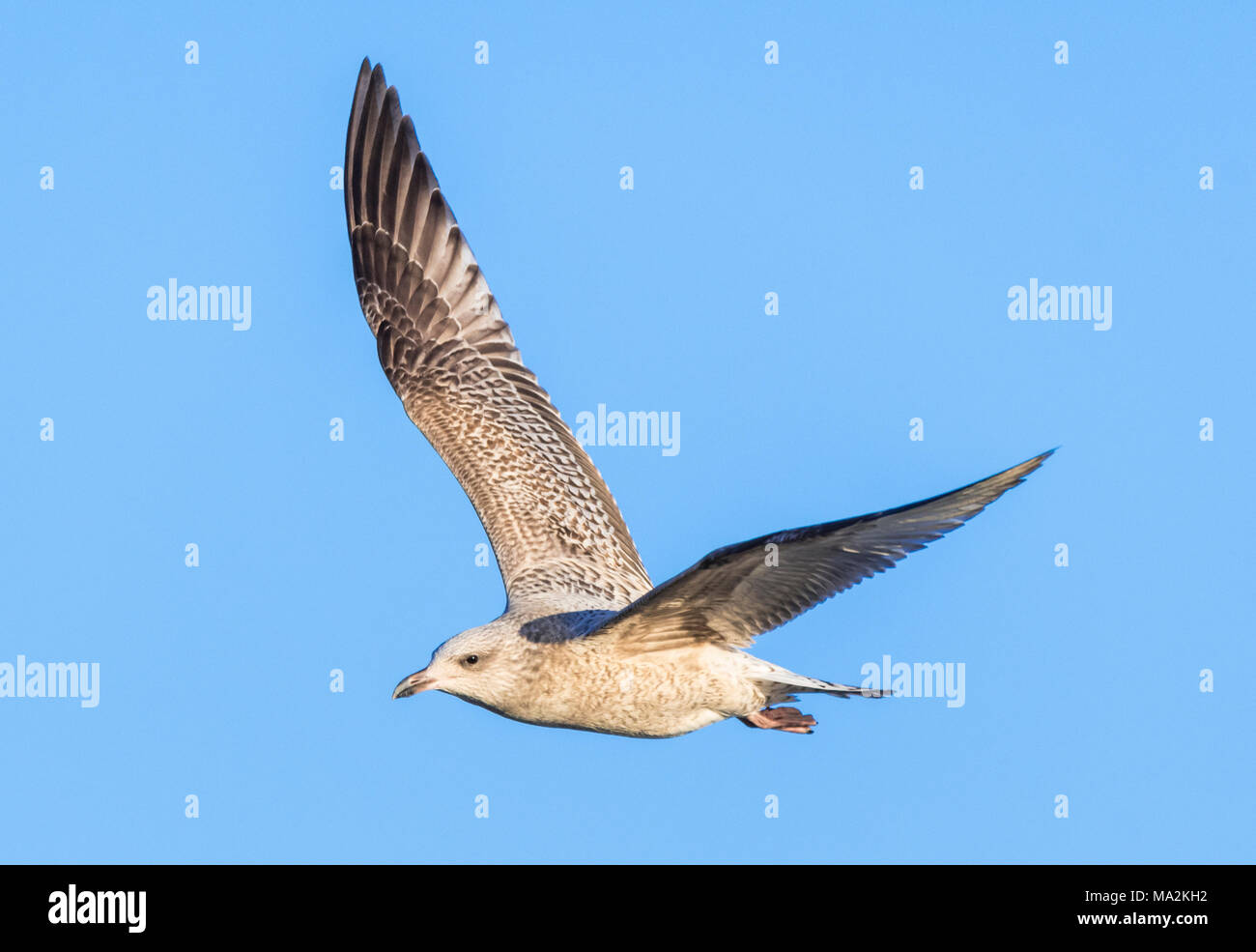 Juvenile Herring Gull (Larus argentatus) in flight against blue sky in Winter in Southern England, UK. - Stock Image