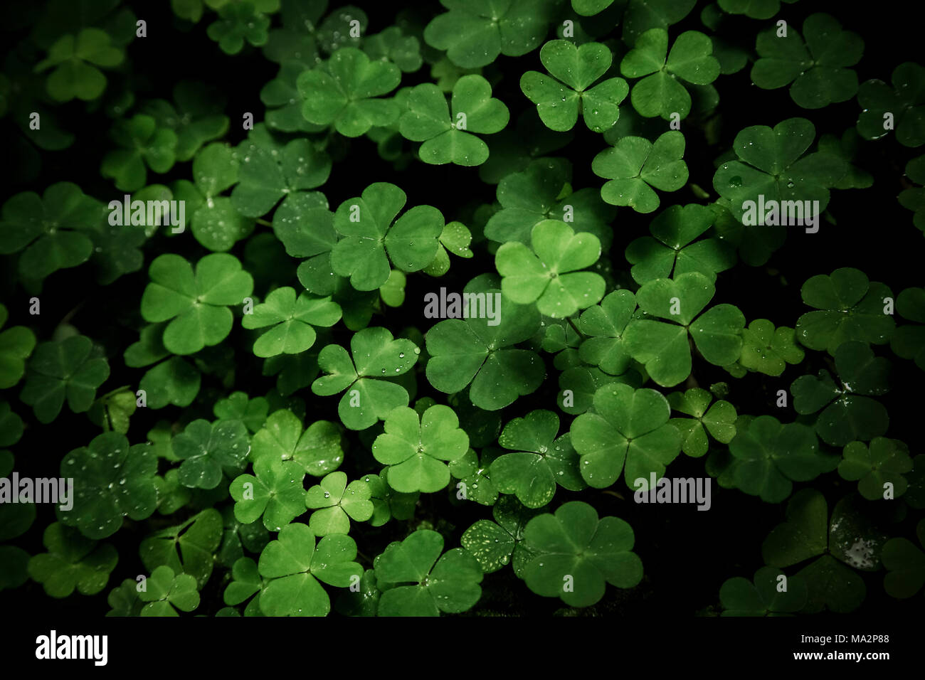 Crisp three leaf clovers with morning dew popping out from dark ground in forest - Stock Image
