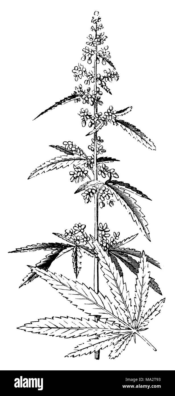 Hemp <Cannabis sativa> - Stock Image