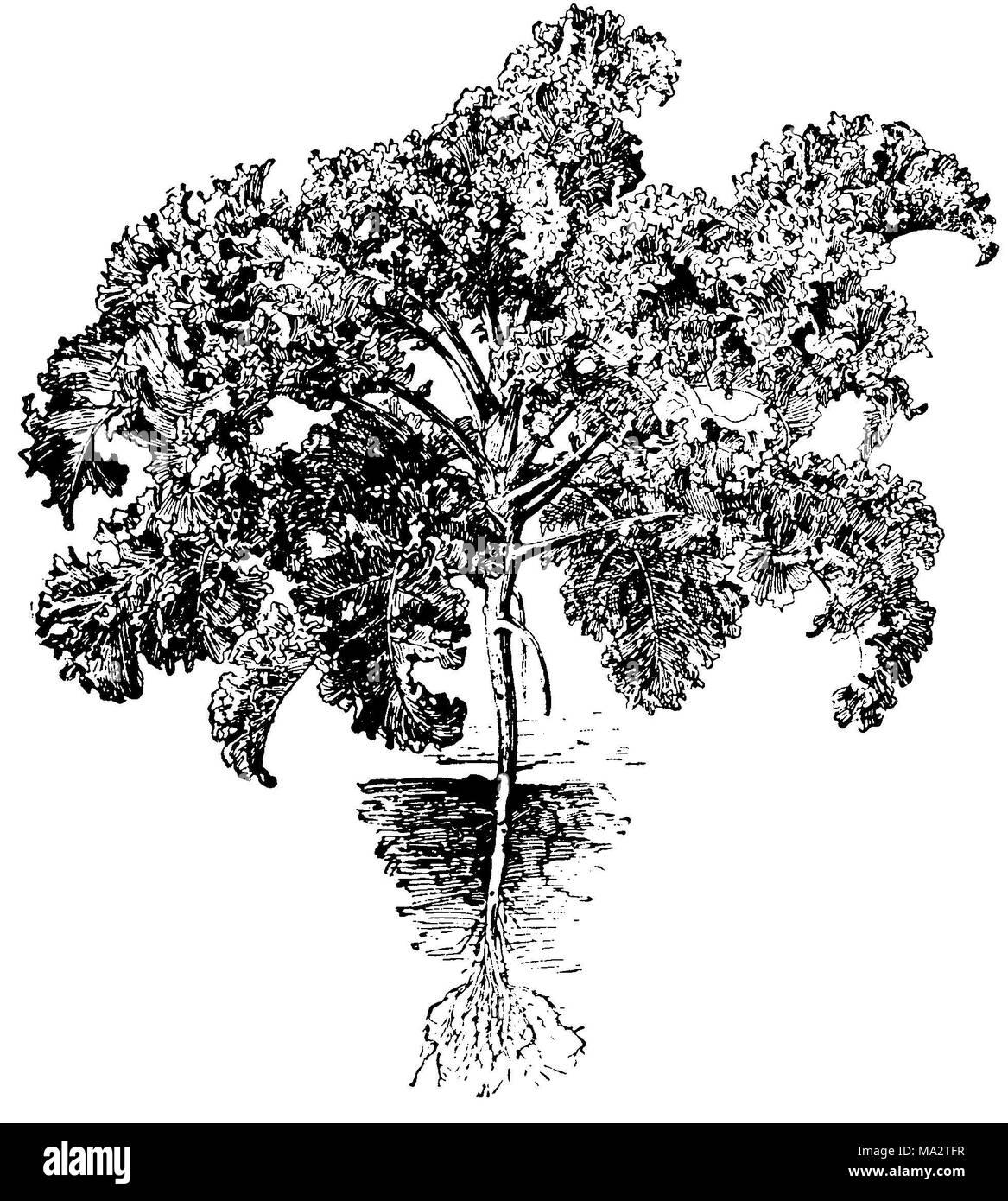 Kale or leaf cabbage - Stock Image