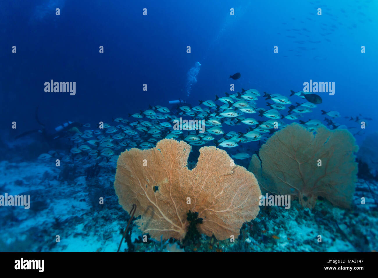 School of silver fish swim past nearby sea fans Stock Photo