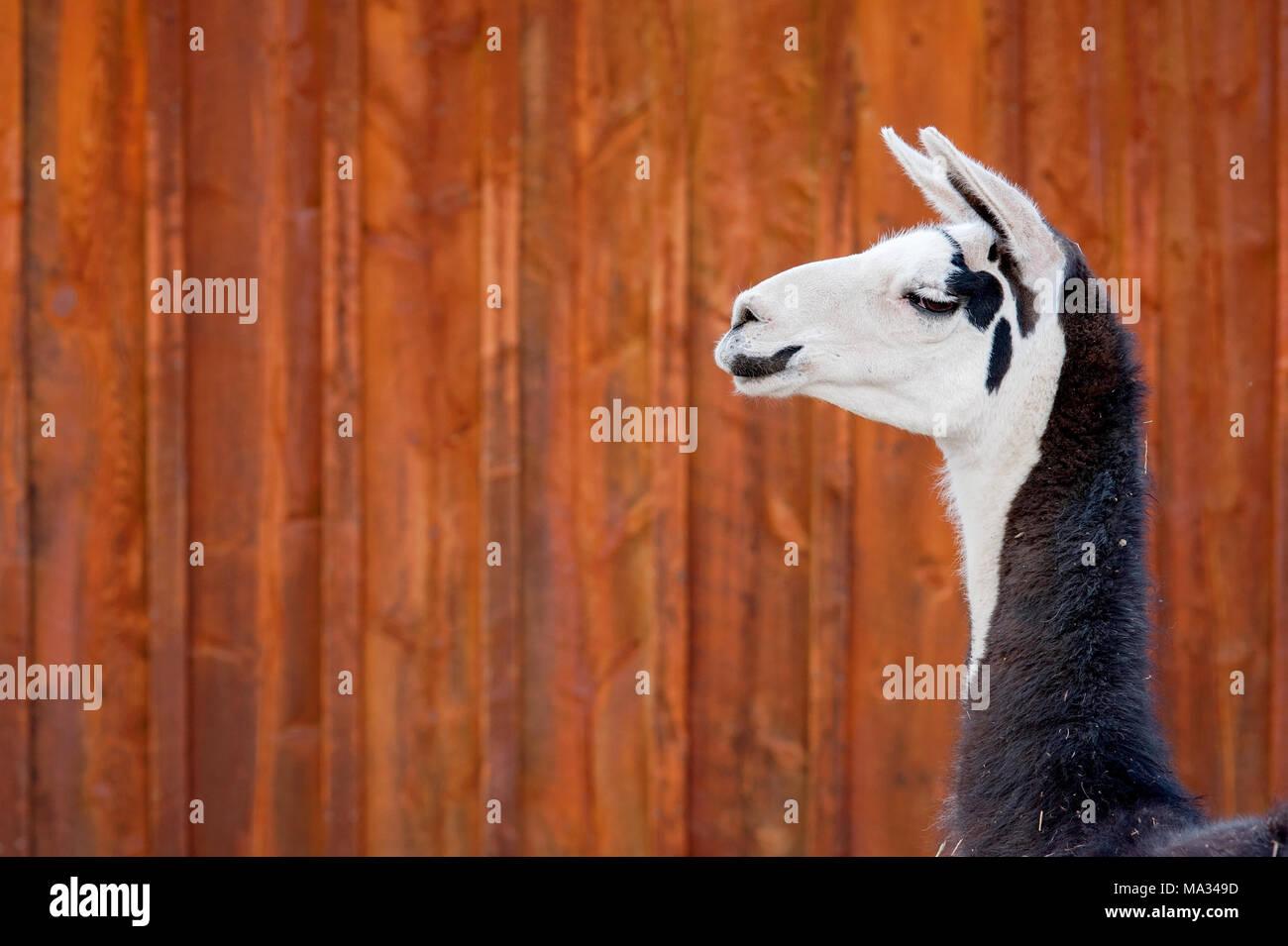 A headshot of a black and white Llama. Shot against orange, rusty, barn siding. - Stock Image