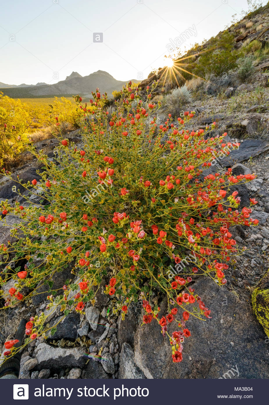 Coulter's Globemallow and Rising Sun, Death Valley National Park, California - Stock Image