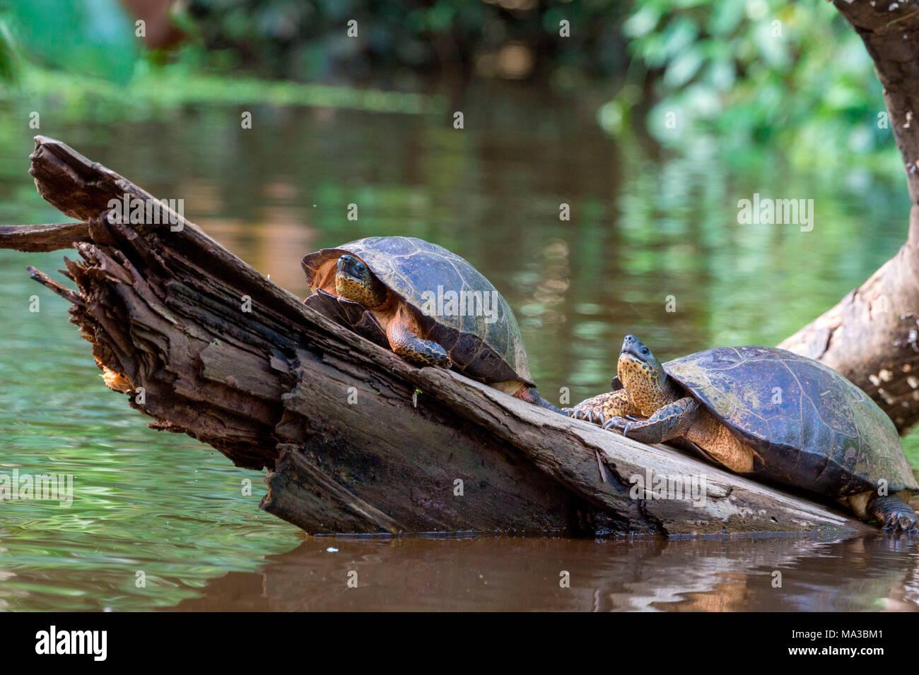 Wild tourtles, Tortuguero, Costa Rica, Central America. - Stock Image
