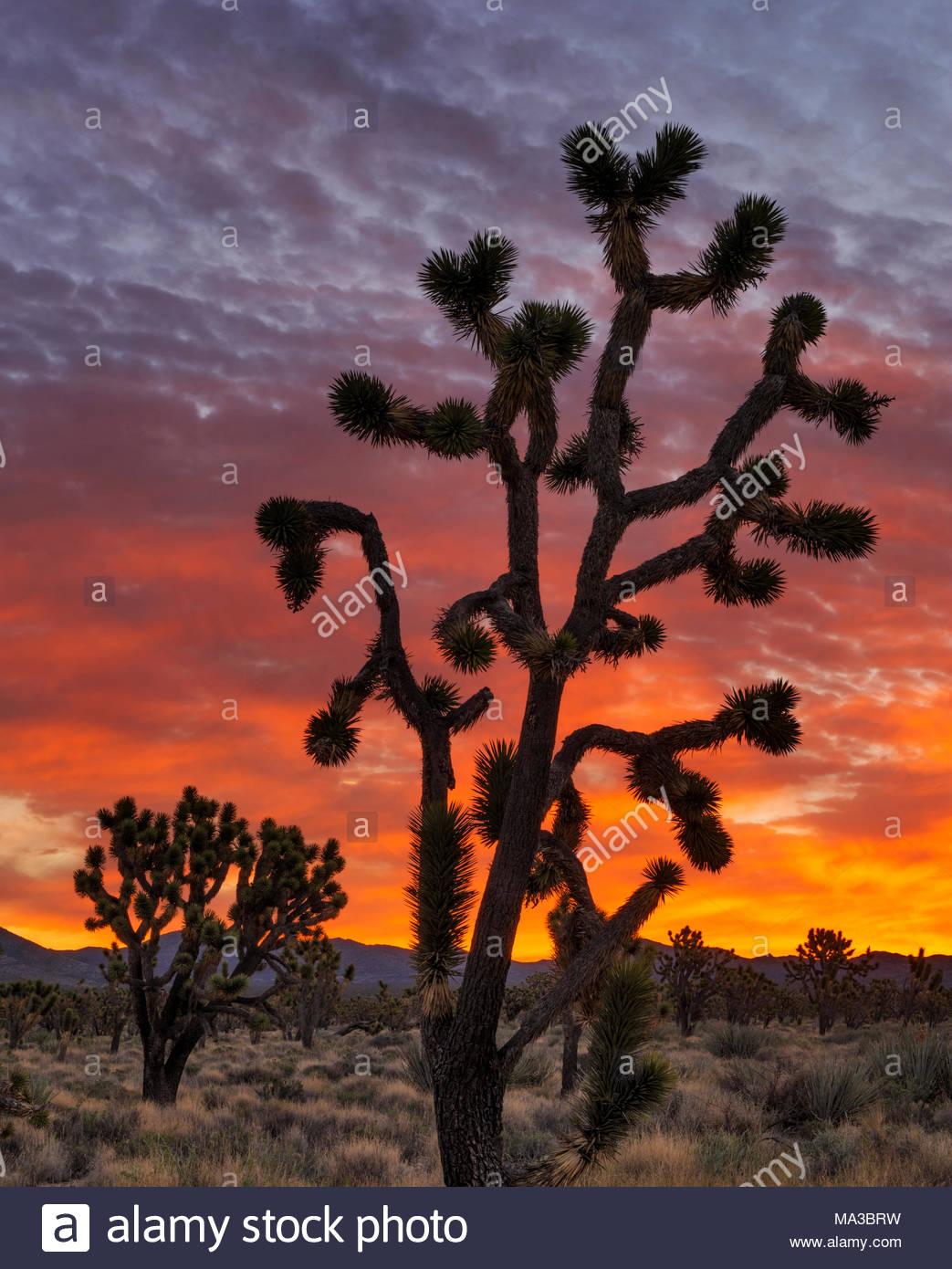 Joshua Trees before Dawn, Mojave National Preserve, California - Stock Image