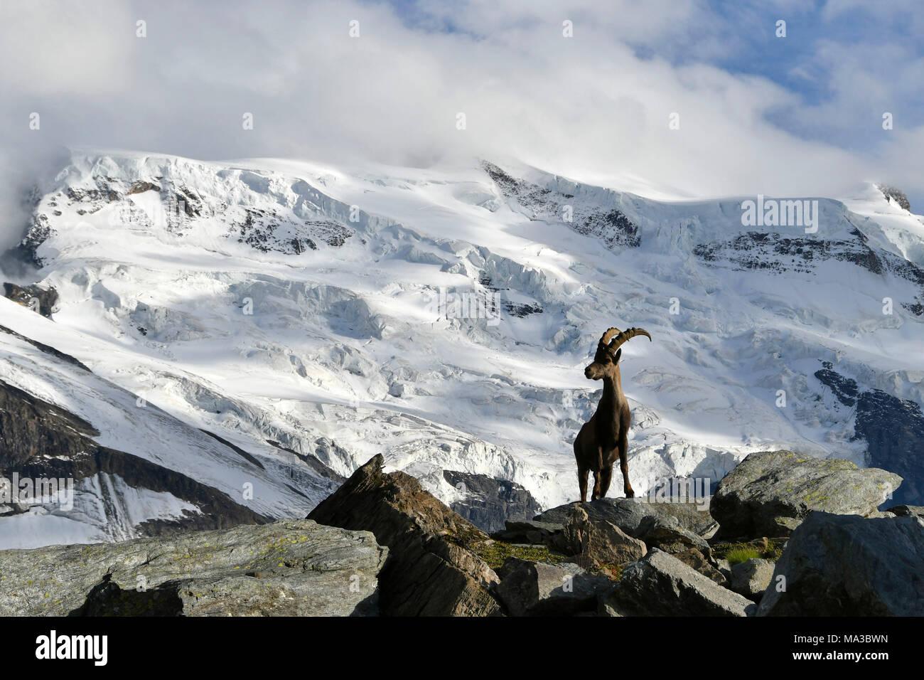 Ibex with huge glacier behind,Grand Combin zone,close to Panossiere hut, Switzerland,Swiss - Stock Image