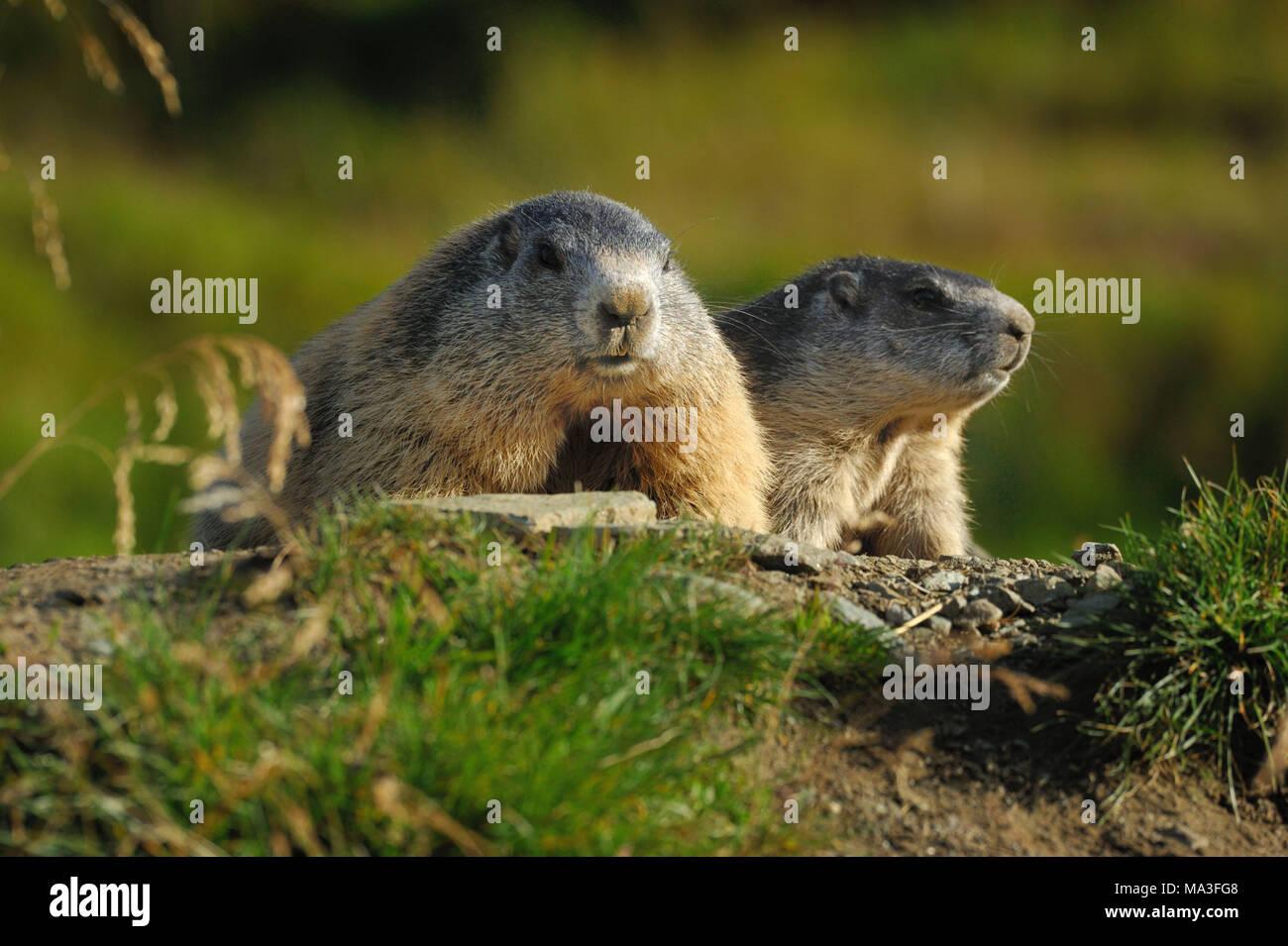 Alpine marmots on mountain pasture, Marmota marmota - Stock Image