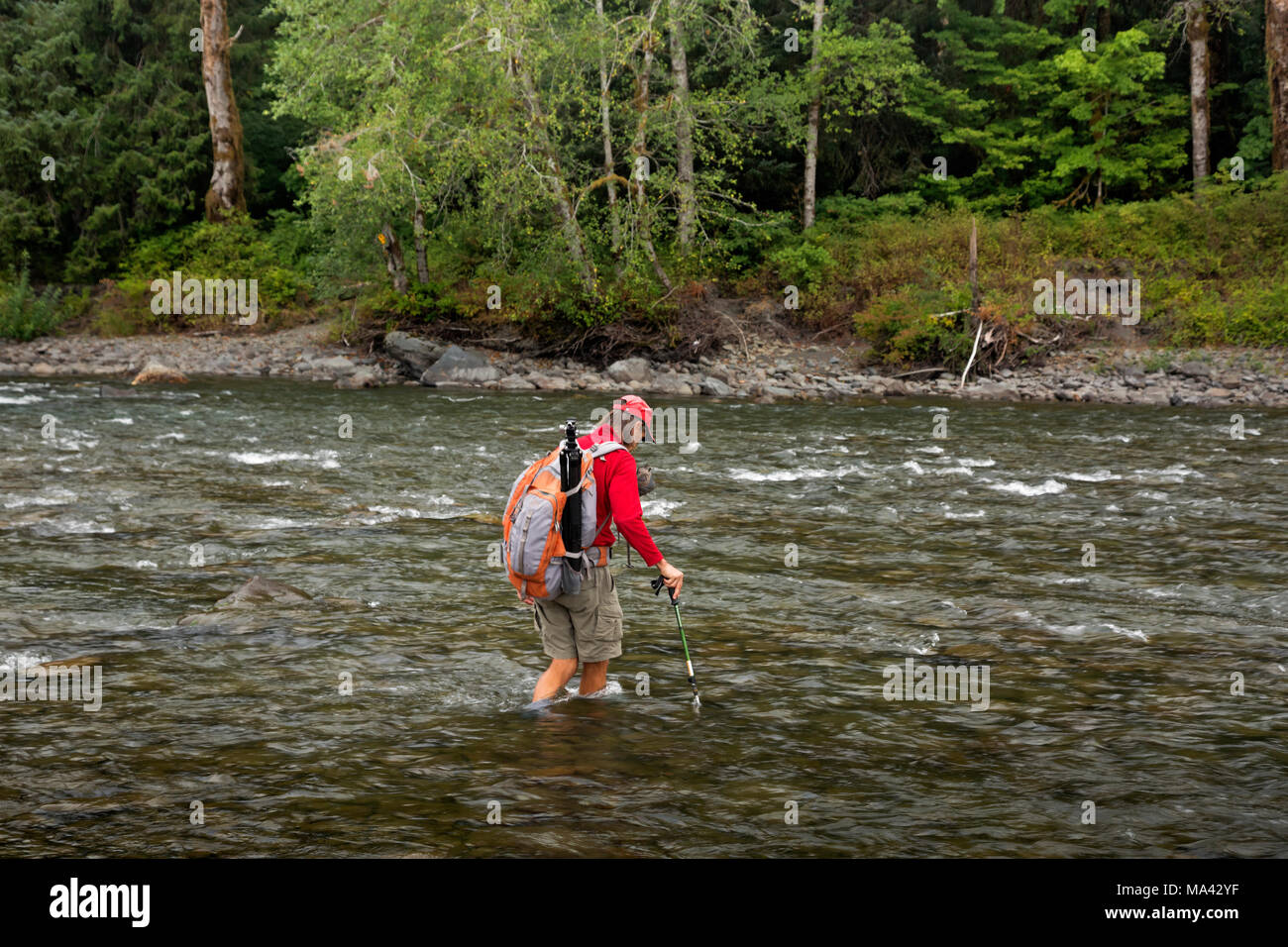 WA13949-00...WASHINGTON - Hiker fording the Queets River to access the Queets River Trail in Olympic National Park. - Stock Image