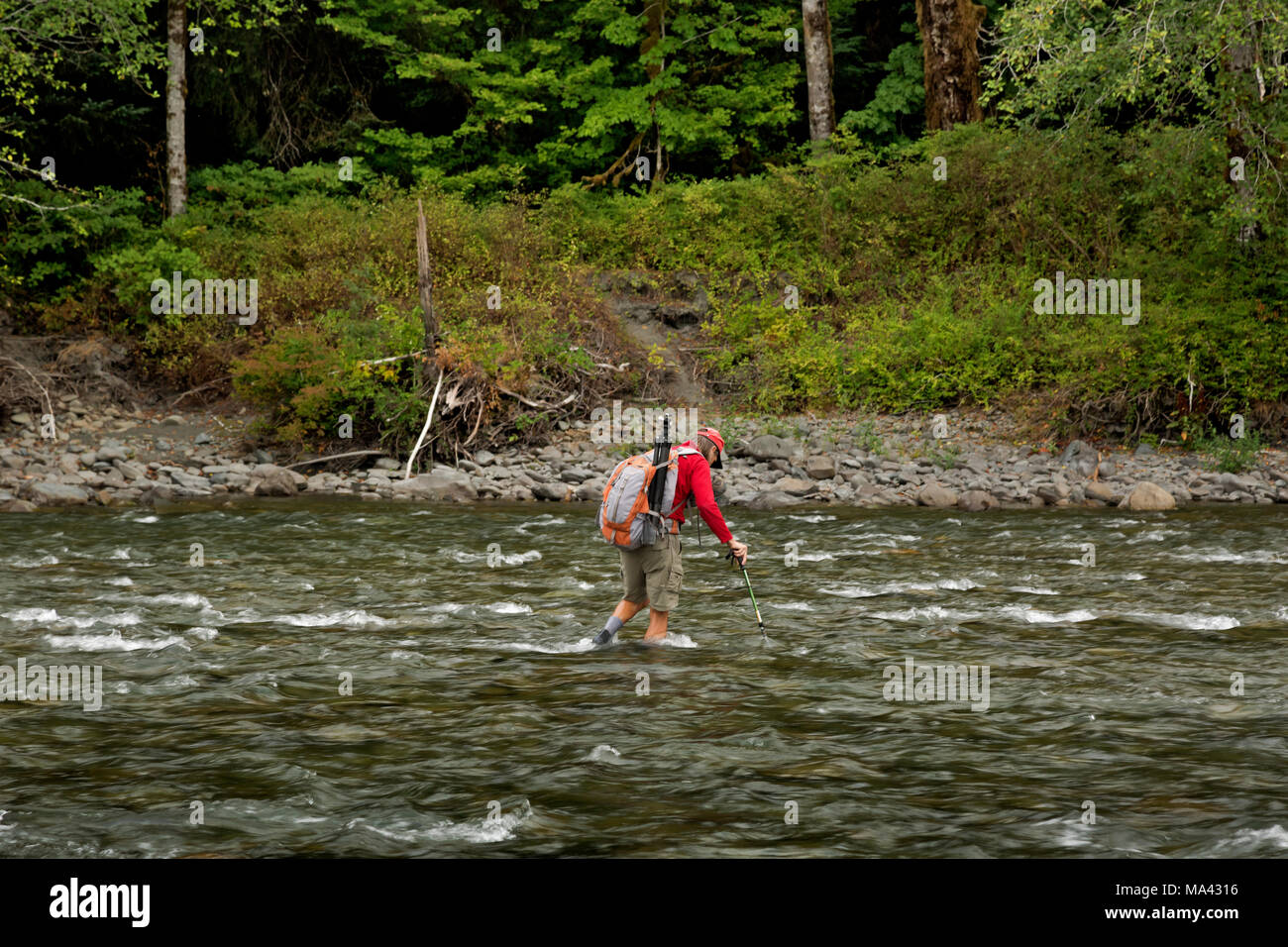WA13950-00...WASHINGTON - Hiker fording the Queets River when the waterflow is low to access the Queets River Trail in Olympic National Park. - Stock Image