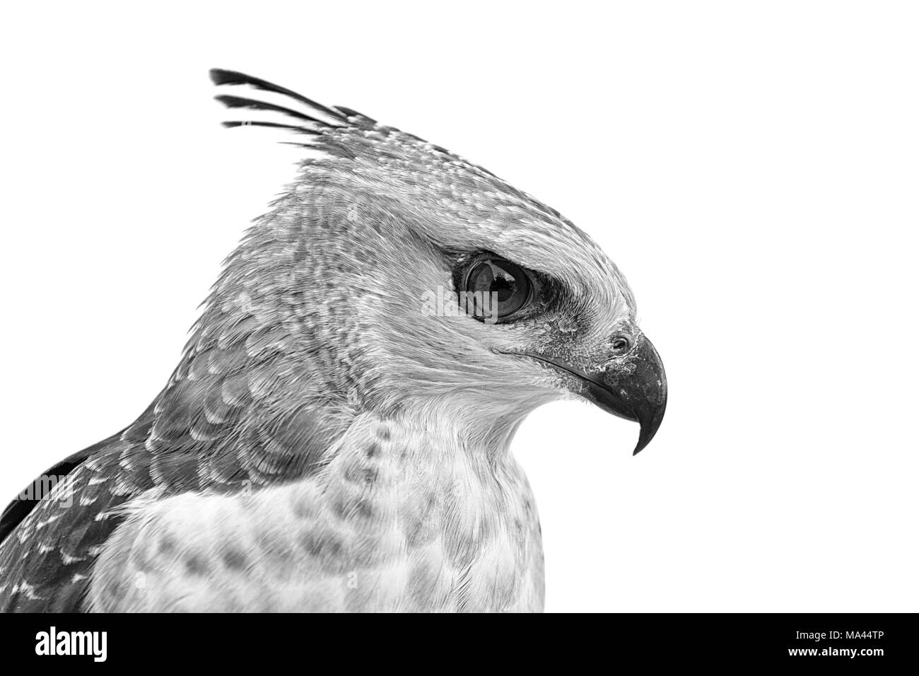 Portrait of the face of the crested Goshawk - Stock Image
