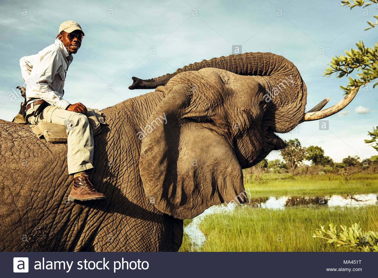 An African man on an elephant in the 'Abu Camp' elephant camp in the Okavango Delta in Botswana, Africa - Stock Image