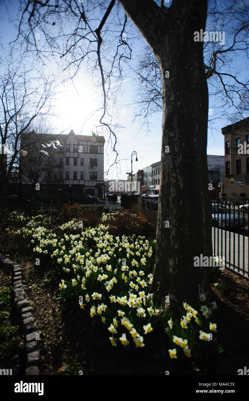 Sunlight hits a flower bed of blooming daffodils as the sun sets, at Monsignor McGolrick Park in Greenpoint, Brooklyn, New York City, April 2013. - Stock Image
