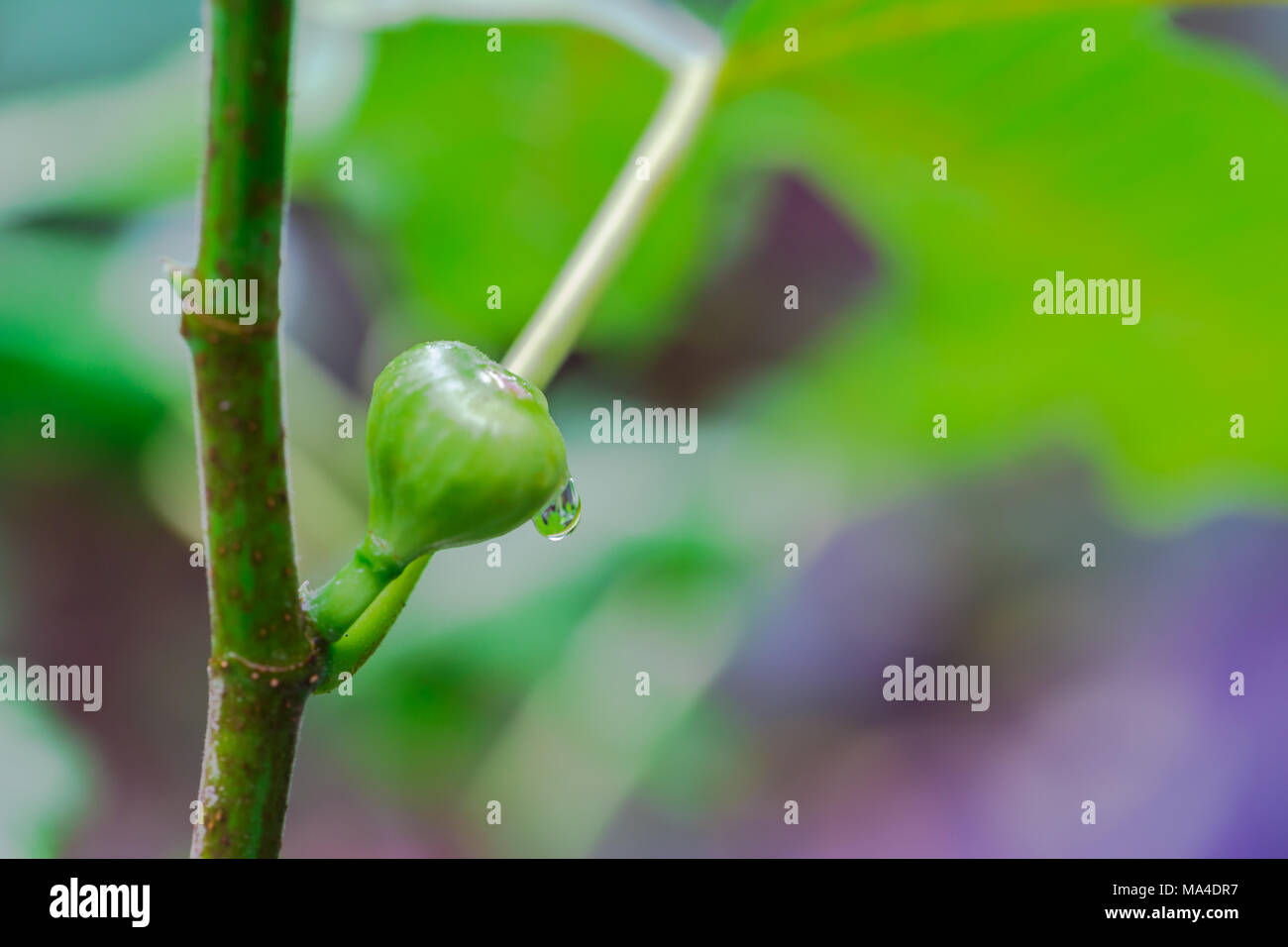 close up fig fruit on a fig tree after a rain - Stock Image