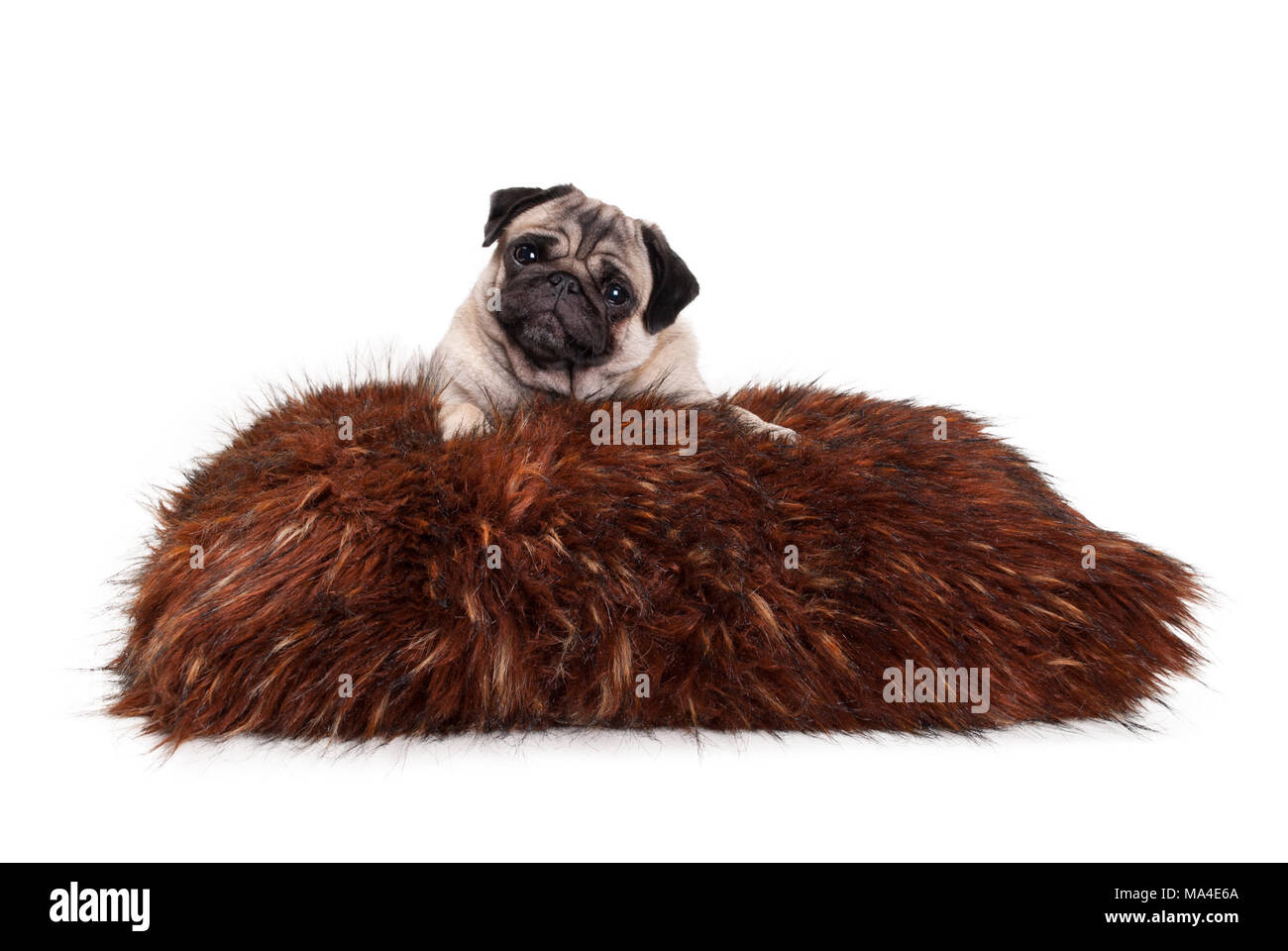 cheeky pug puppy dog lying down on fuzzy fake fur pillow, isolated on white backgroundStock Photo