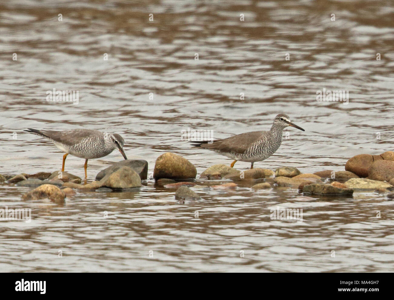 Grey-tailed Tattler (Tringa brevipes) two adults feeding on shingle bar  Beidaihe, Hebei, China       May - Stock Image