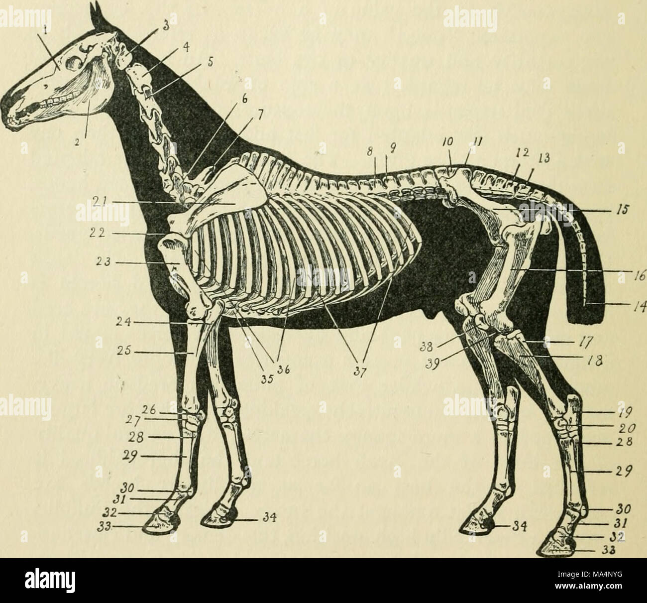 Hermosa Horse Hoof Anatomy And Physiology Bandera - Anatomía y ...