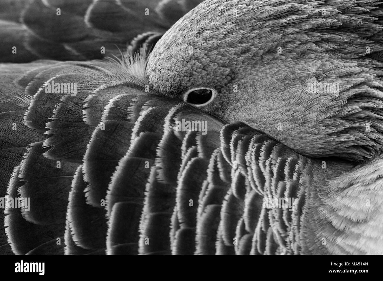 Closeup goose Stock Photo