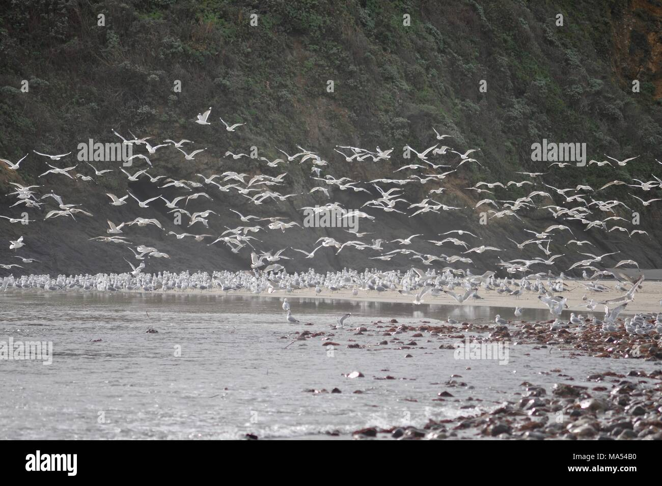 Flock of seagulls suddenly taking off along rugged coastline beach landscape with Pacific Ocean, waves and rocky cliffs in Big Sur, California, USA. - Stock Image