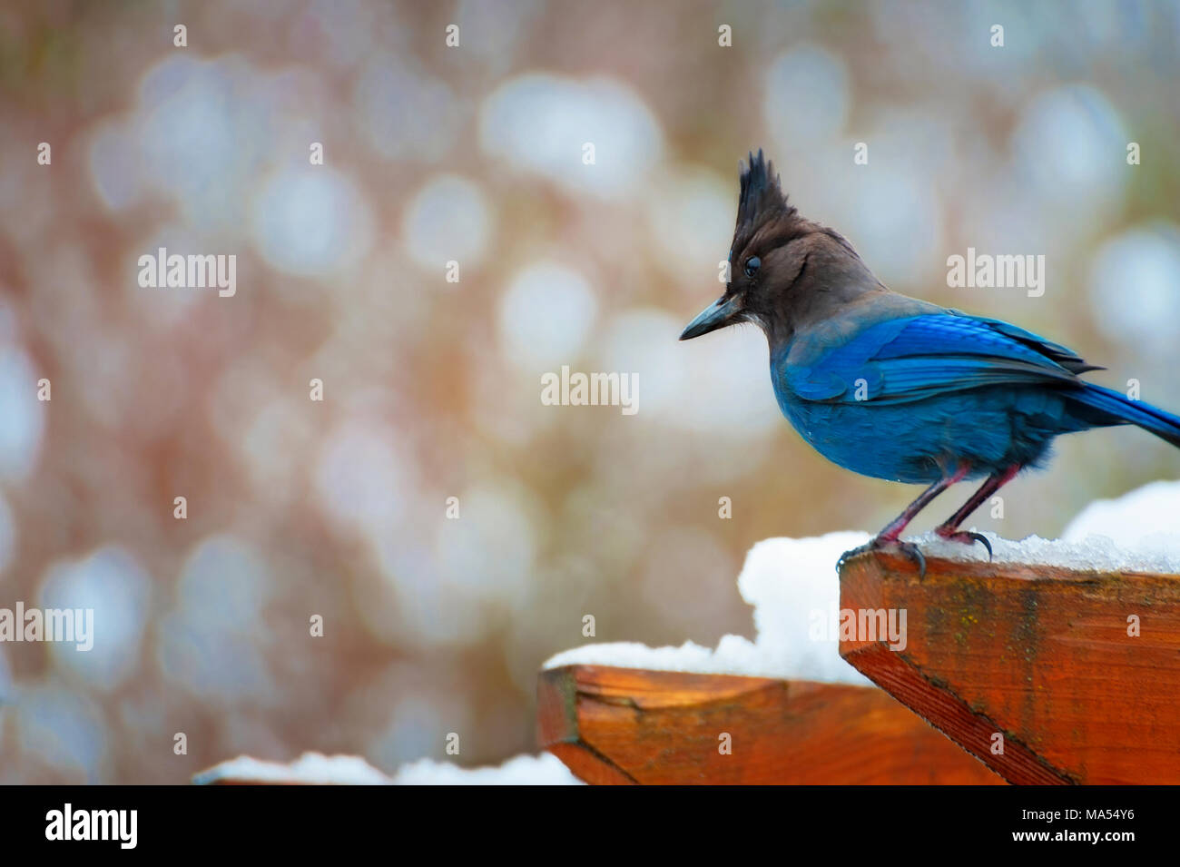 Copy space available in this closeup of a Blue Jay perched on top of a wooden arbor with snow on it. Stock Photo
