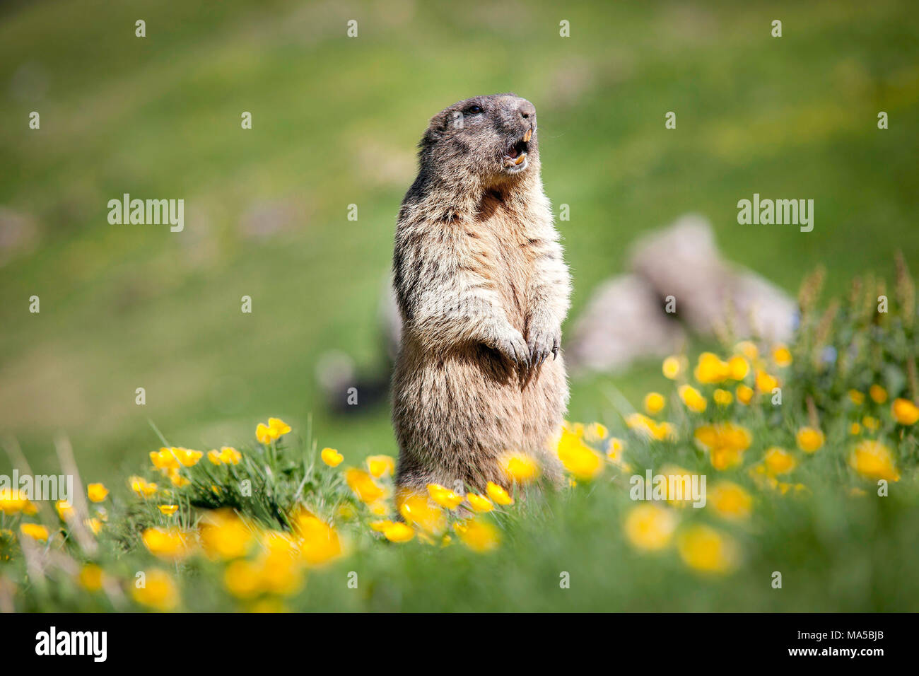whistling marmot in the Taubenstein area whistling animals to warn fellows of danger - Stock Image