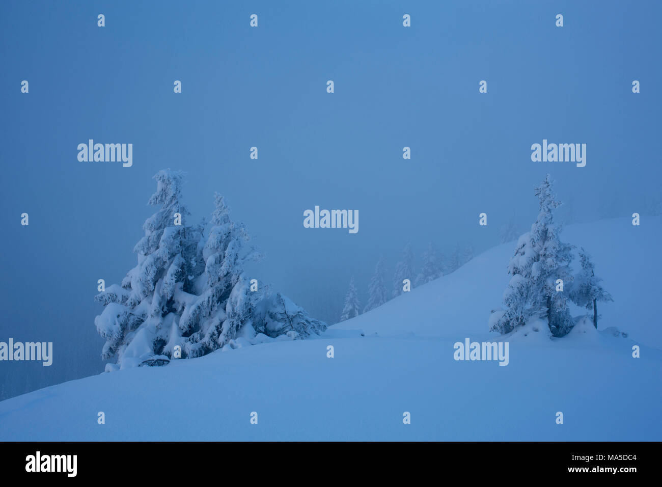 Snowy conifers at Hirschberg (mountain), Bavarian Alps, Bavaria, Germany. - Stock Image