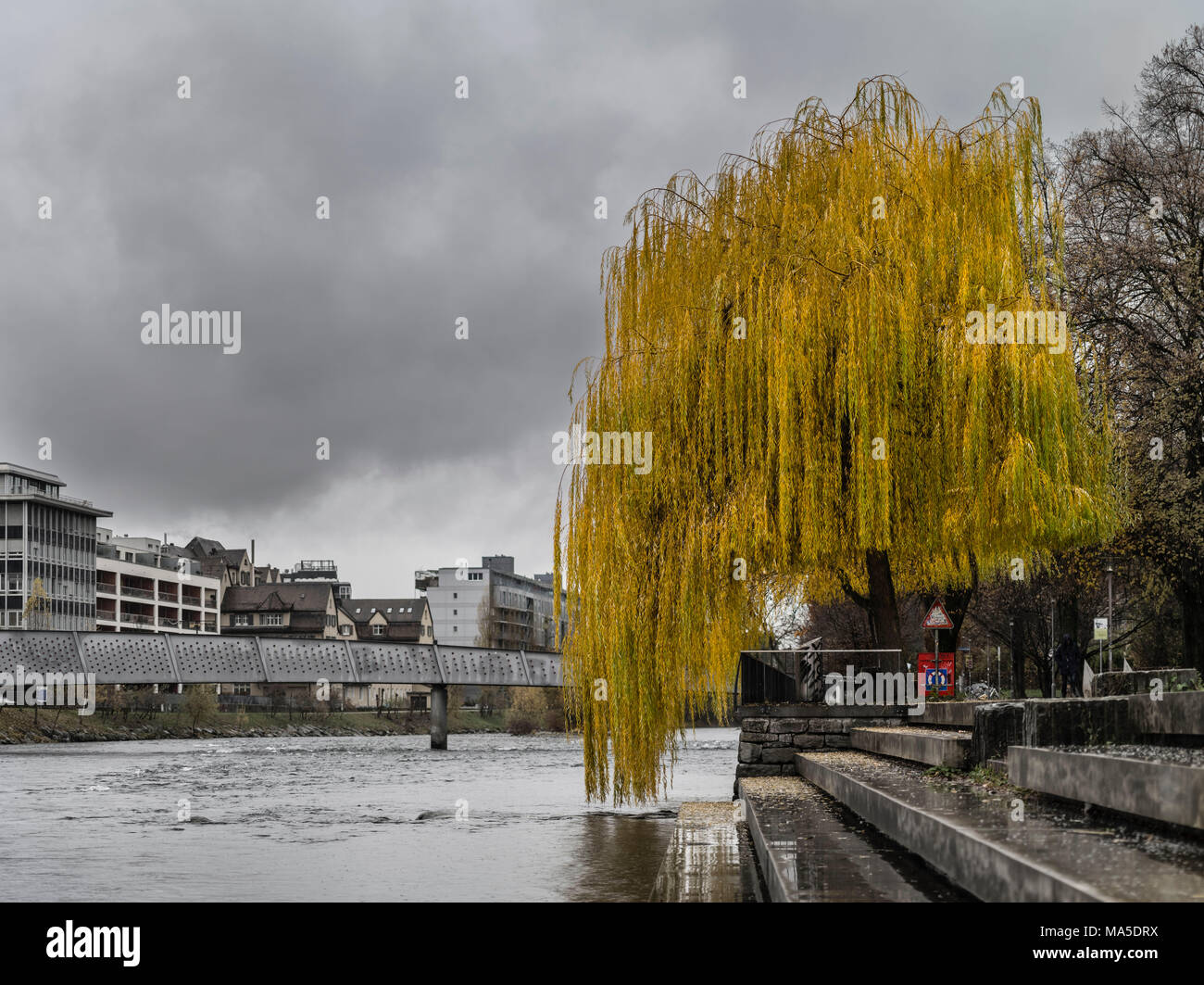 Willow on the riverbank on a dull autumn day - Stock Image