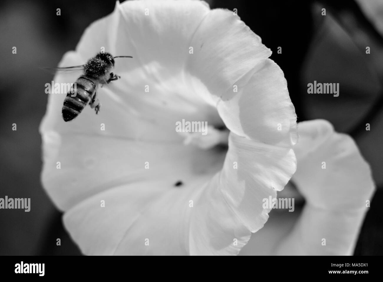 Bee approaching white blossom, b / w - Stock Image