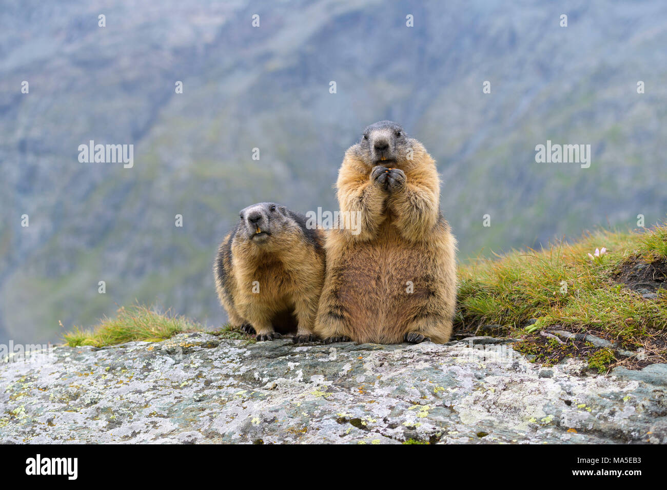 Alpine Marmot, Marmota marmota, two adults, Hohe Tauern National park, Austria - Stock Image