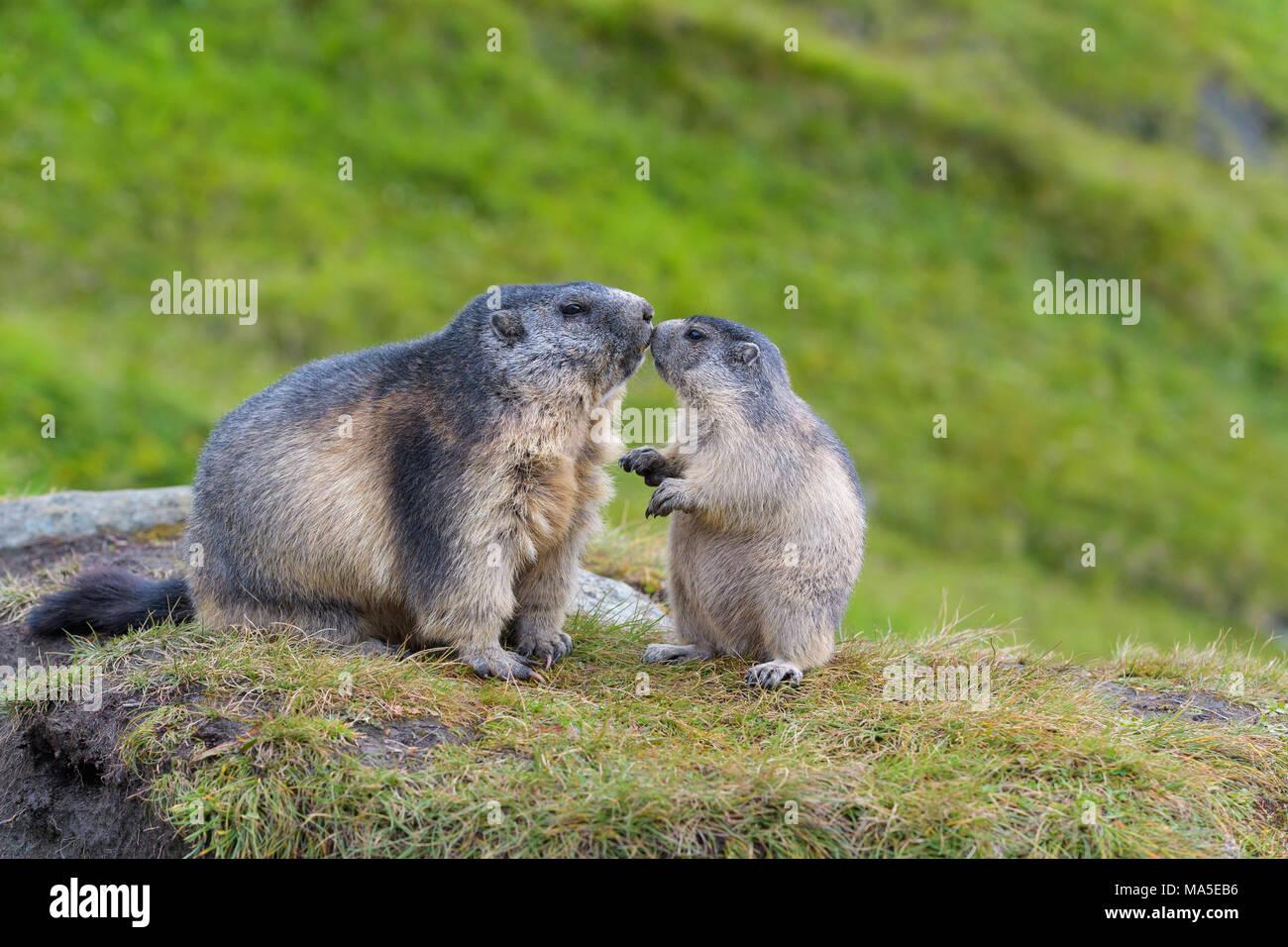 Alpine Marmot, Marmota marmota, adult with young, Hohe Tauern National park, Austria - Stock Image
