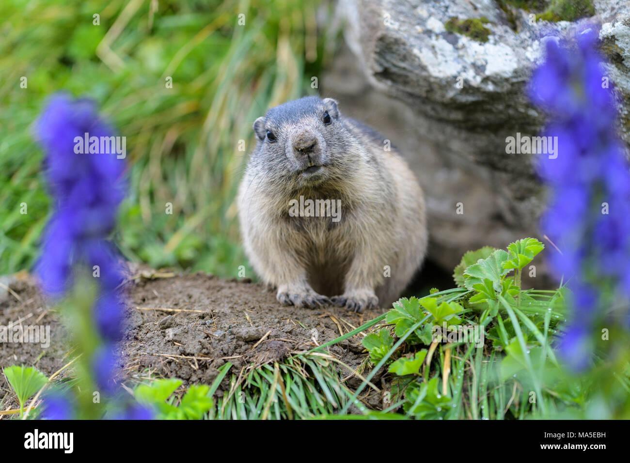 Alpine Marmot, Marmota marmota, young with Tauern Monkshood, Hohe Tauern National park, Austria - Stock Image