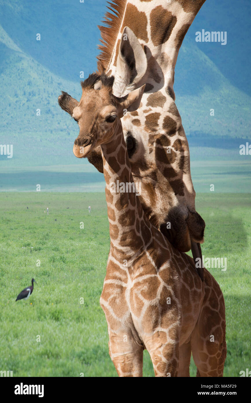 Giraffe mother and baby bath time in Africa - Stock Image