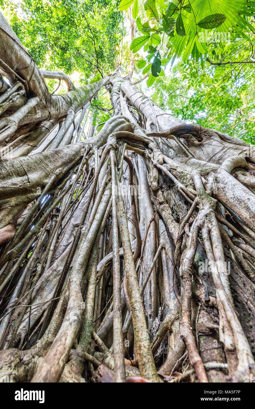 Strangler fig, Tangkoko National Park, Northern Sulawesi, Indonesia - Stock Image