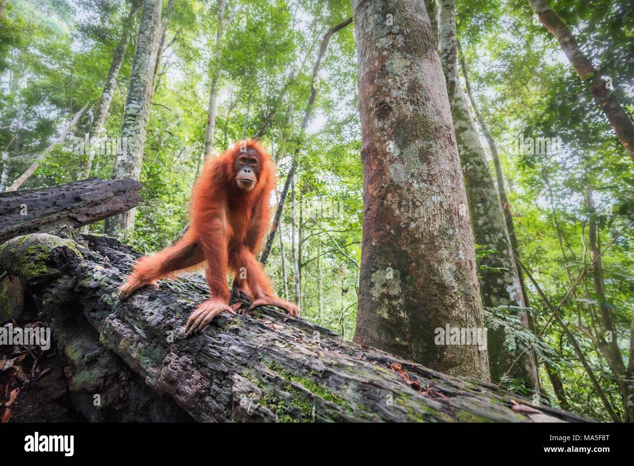 Sumatran orangutan, Pongo Abelii, Gunung Leuser National Park, Sumatra, Indonesia Stock Photo