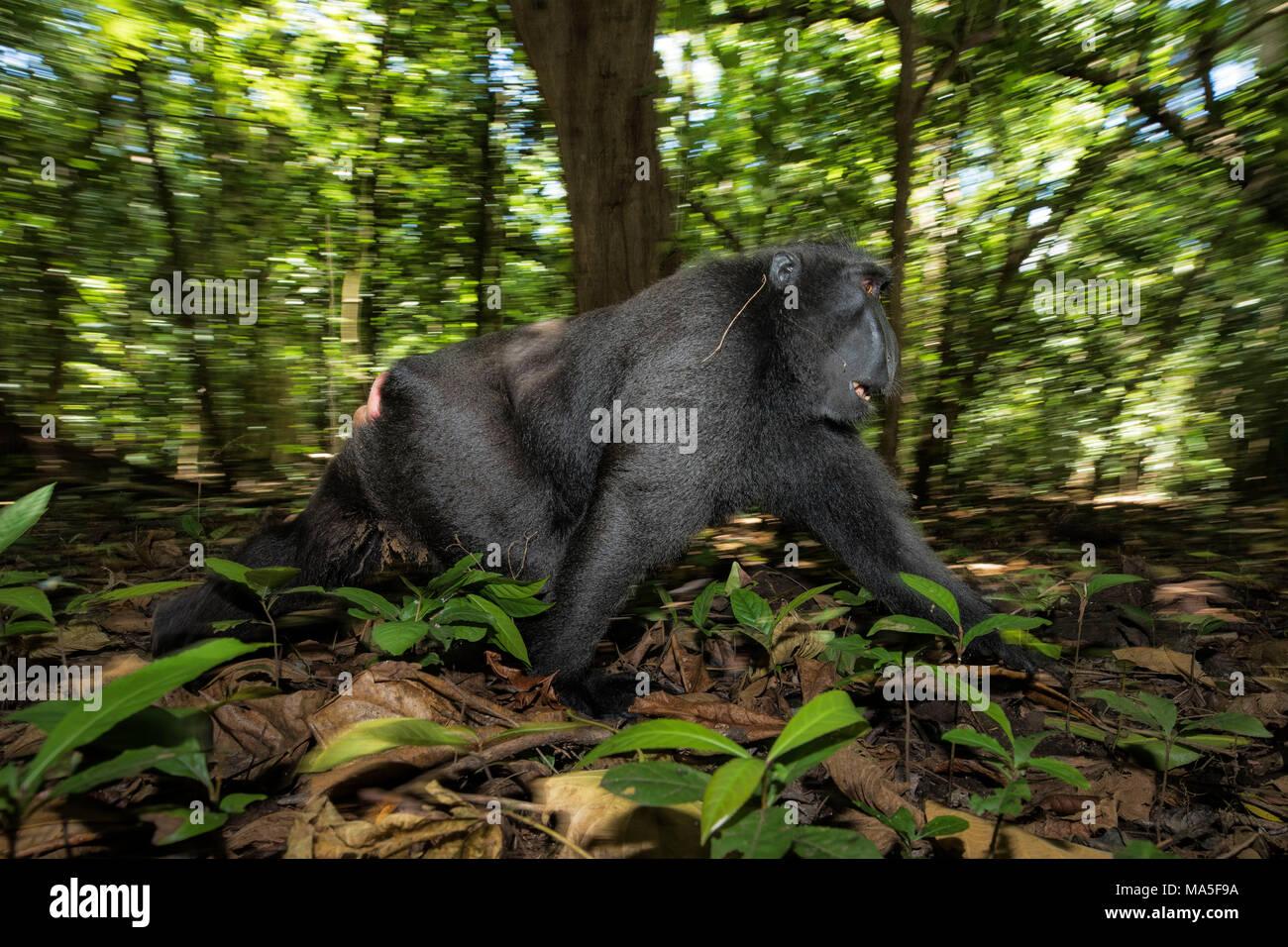 Black crested macaque, macaca nigra, Tangkoko National Park, Northern Sulawesi, Indonesia - Stock Image