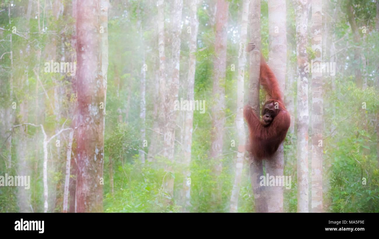 Bornean Orangutan, pongo pygmaeus, Tanjung Puting National Park, central Kalimantan, Borneo, Indonesia, Asia - Stock Image
