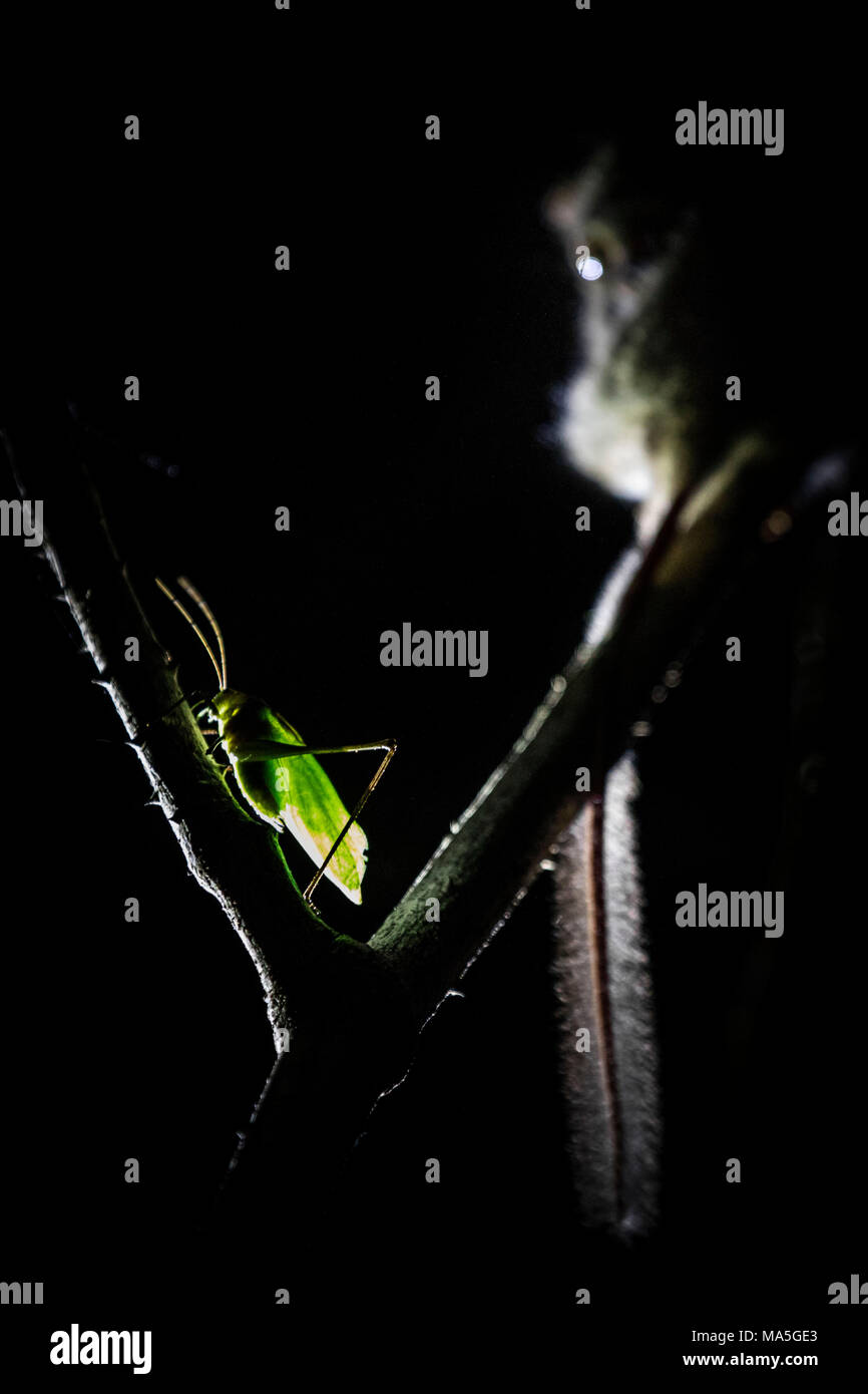 grasshopper and Spectral Tarsier, Tangkoko National Park, Northern Sulawesi, Indonesia - Stock Image