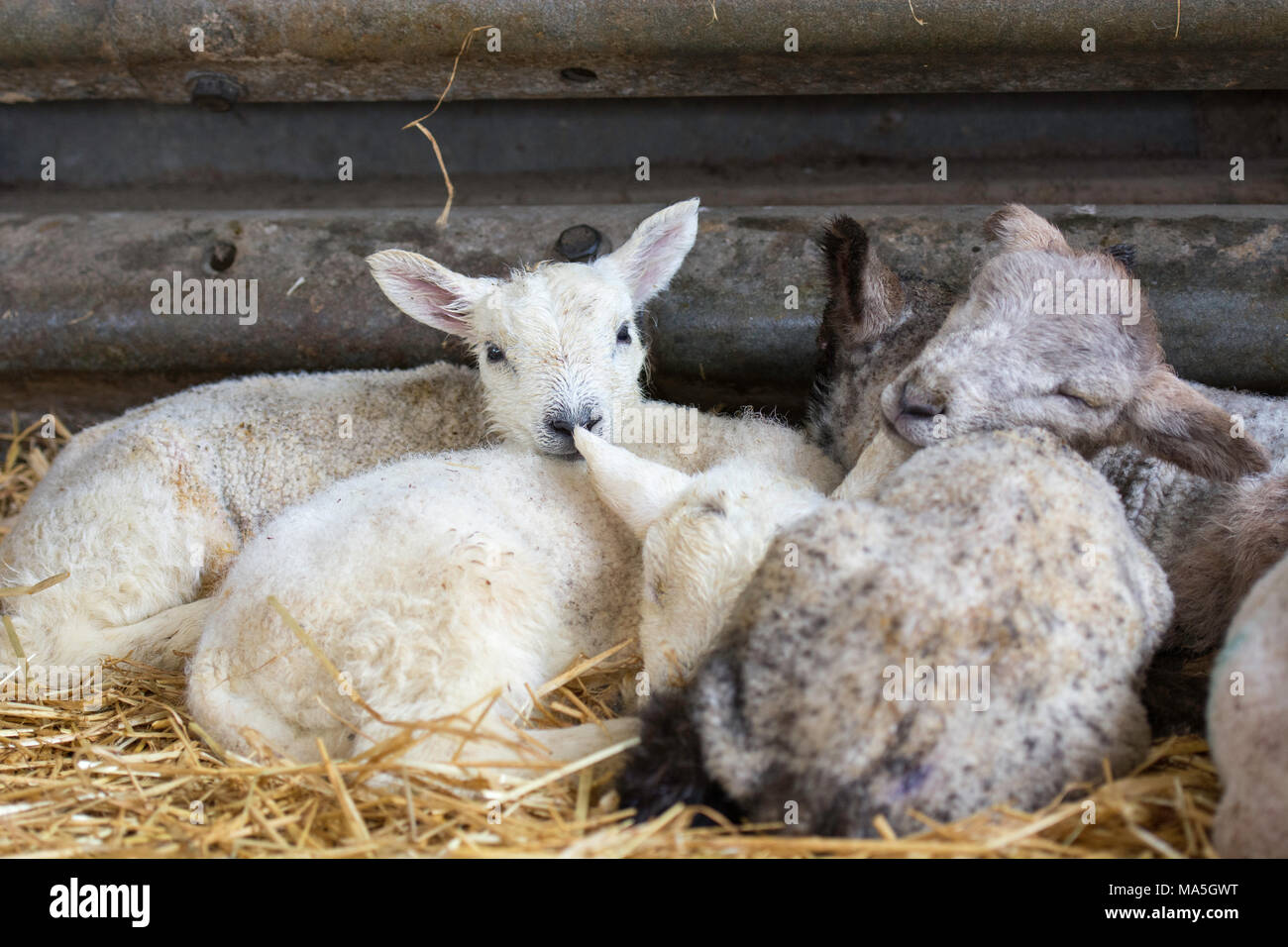 sleeping lambs huddled together in a barn - Stock Image