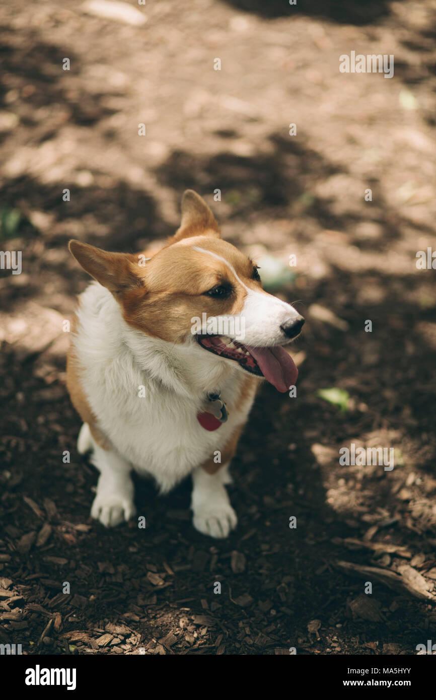 corgi dog in the park - Stock Image
