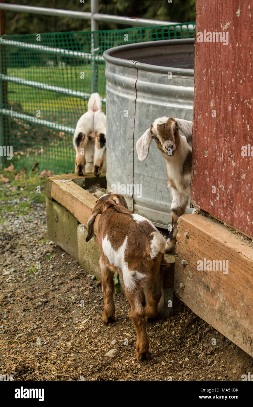 Issaquah, Washington, USA.  12 day old mixed breed Nubian and Boer goat kids exploring outside their barn - Stock Image