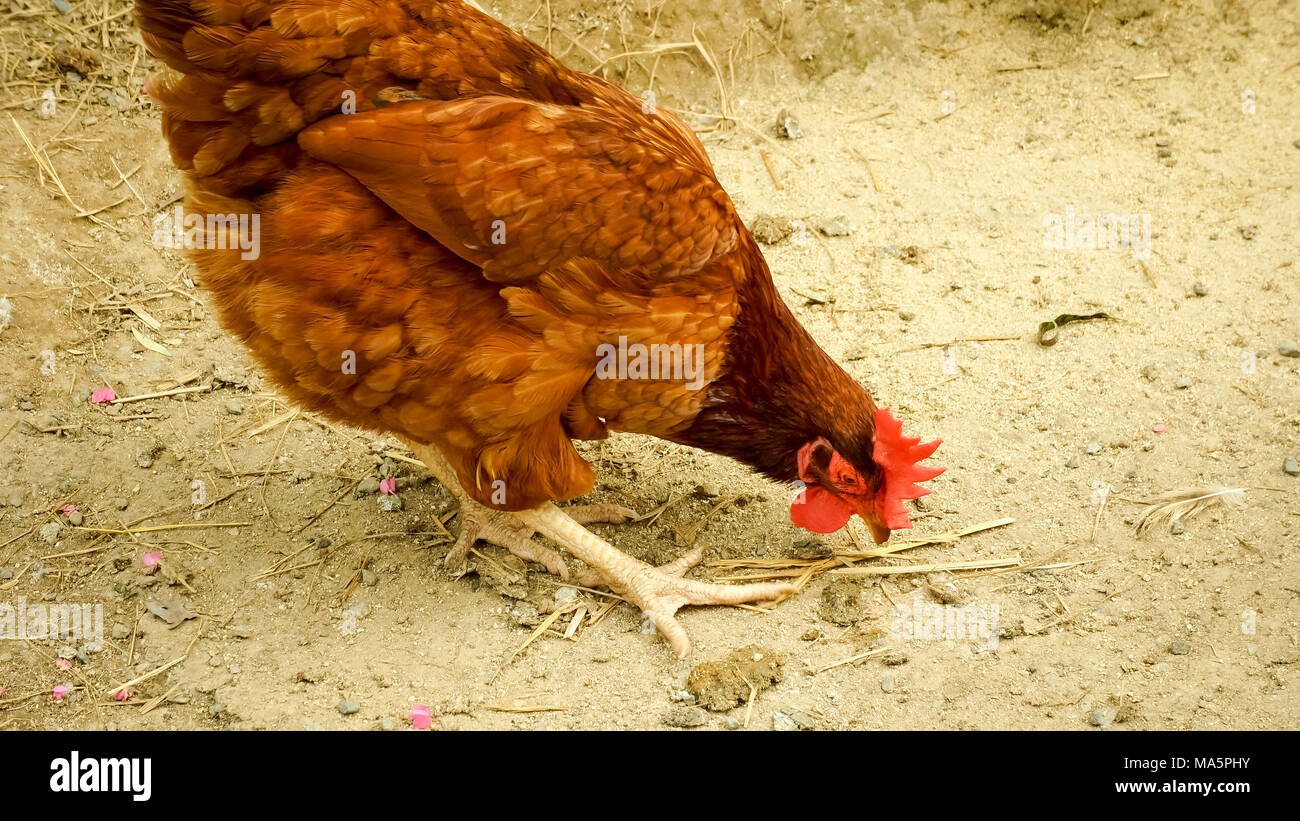 Chickens on traditional free range poultry farm - Stock Image