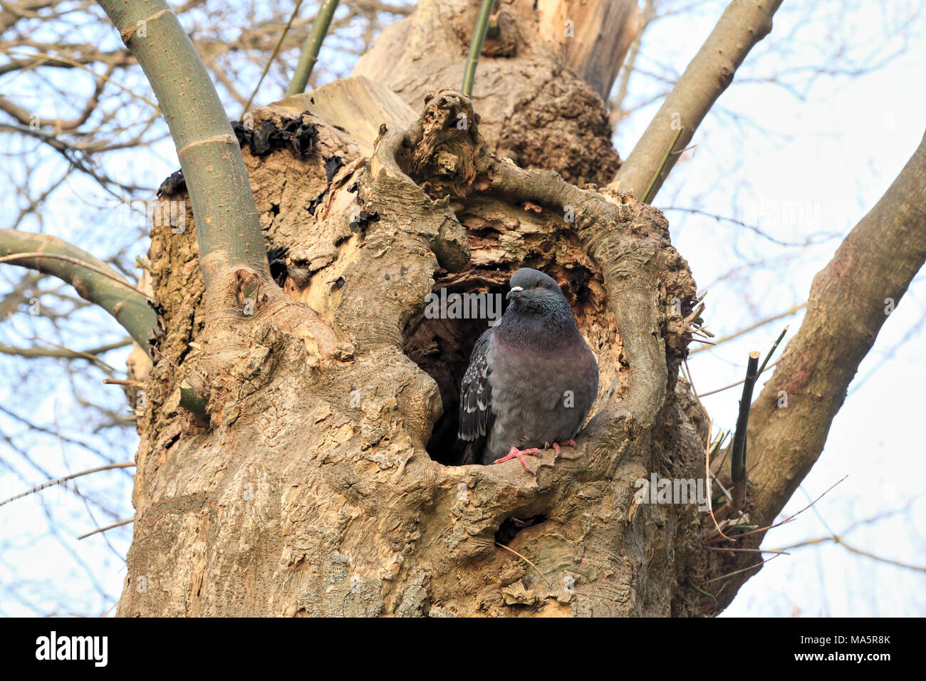 Pigeon sitting in tree hollow hole, Columba livia - Stock Image