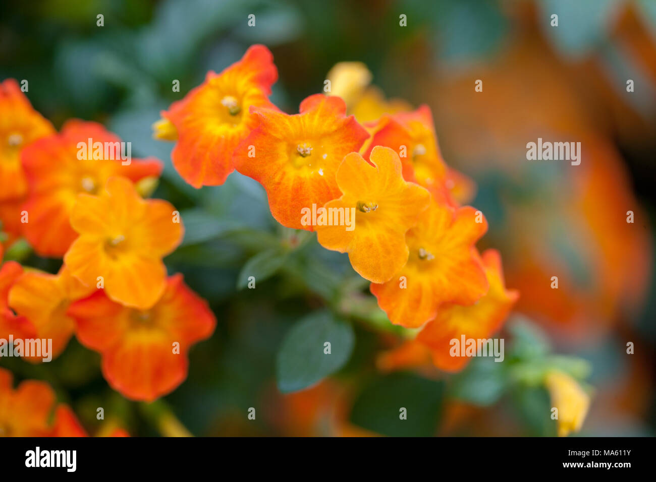 Marmalade Bush, Gulltratt (Streptosolen jamesonii) - Stock Image